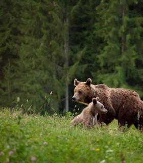Tur privat de observare a ursilor la poalele Muntilor Harghita