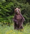 Observare ursi in TInutul Vulcanilor